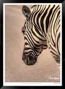 Zebras of Africa - 017 - © Jonathan van