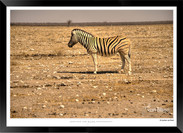 Zebras of Africa - 016 - © Jonathan van
