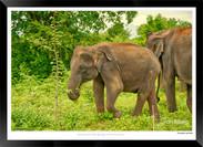 Elephants of Sri Lanka -  016 - ©Jonathan van Bilsen.jpg