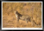 Cats_of_Africa_-_010_-_©_Jonathan_van_B