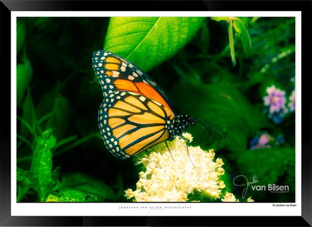 Images of Butterflies - IB003 - Jonathan