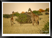 Giraffes_of_Namibia_-_004_-_©_Jonathan_