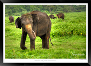 Elephants of Sri Lanka -  007 - ©Jonathan van Bilsen.jpg