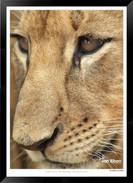 Cats_of_Africa_-_019_-_©_Jonathan_van_B