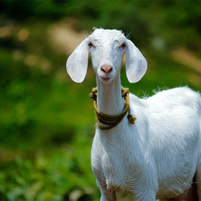 Buy a Goat