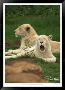 Cats_of_Africa_-_017_-_©_Jonathan_van_B