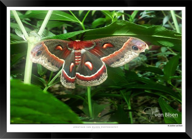 Images of Butterflies - IB009 - Jonathan