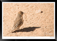 Birds_of_Namibia_-_027_-_©_Jonathan_van
