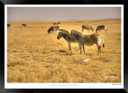 Zebras of Africa - 024 - © Jonathan van