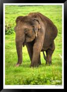 Elephants of Sri Lanka -  003 - ©Jonathan van Bilsen.jpg