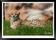 Cats_of_Africa_-_009_-_©_Jonathan_van_B