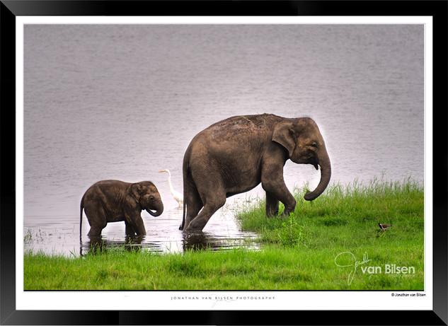 Elephants of Sri Lanka -  IOSR- 022.jpg