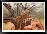 Cats_of_Africa_-_007_-_©_Jonathan_van_B