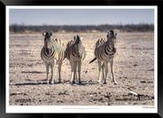 Zebras of Africa - 008 - © Jonathan van