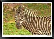 Zebras of Africa - 004 - © Jonathan van