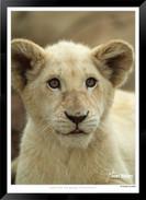 Cats_of_Africa_-_018_-_©_Jonathan_van_B