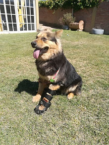 Ortesis canina / Ringo ortopedia, propioce