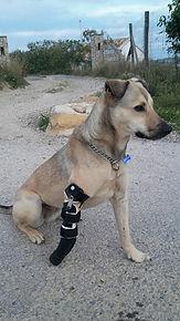 Perro amputado con protesis