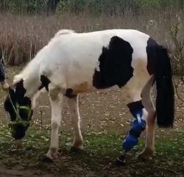 Protesis para Caballos amputados