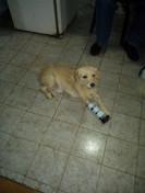 Palomino y su protesis