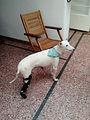 Protesis para perros amputados, Ringo