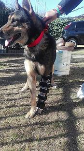 perro quebrado con protesis de Ringo Ortopedia Canina
