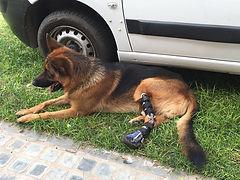 a contener la pisada conuna protesis canina a su medida