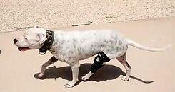 perro con ortesis de ligament de rodilla, Ortopedia canina Ringo