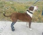 Perro con quebradura y su protesis Ringo