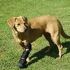 Ortopedia Canina Ringo, perro con protesis