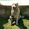 dog with prosthesis, Ringo