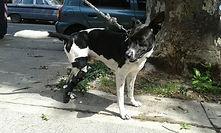 Ortopedia Canina Ringo, perro amputado miembro posterior