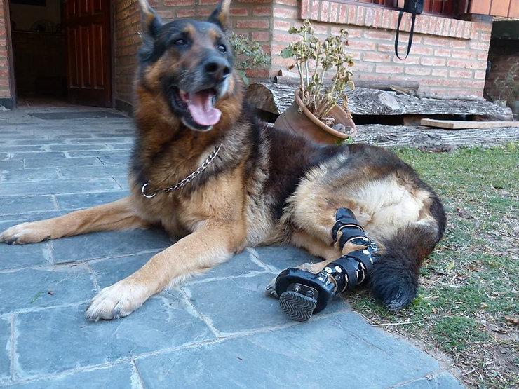 Ringo ortopedia canina