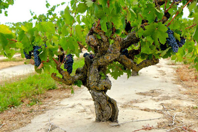 Mokelumne River classic: 114-year old, own-rooted Marian's Vineyard Zinfandel ( Picture from Lodi Wines California website)