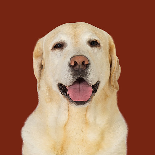 Fine Art Print · Project 100 Dogs · Dundee the Labrador Retriever