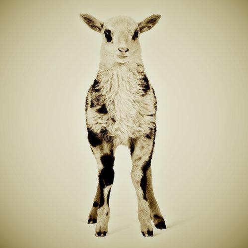 Animal Series · Lamb
