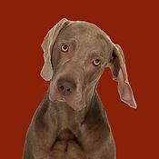 Billy_Weimaraner_SOME.jpg