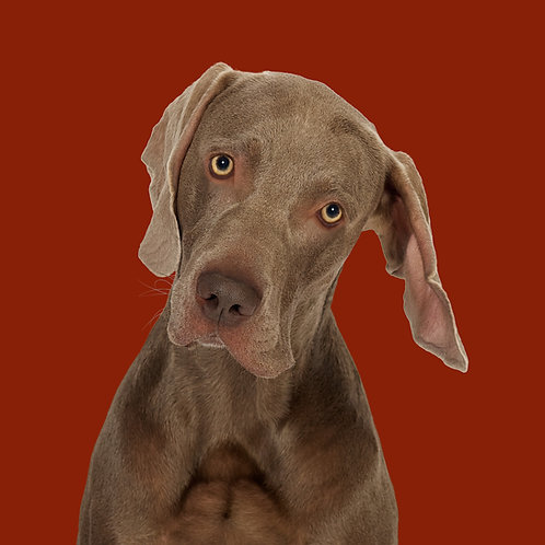Fine Art Print · Project 100 Dogs · Billy the Weimaraner