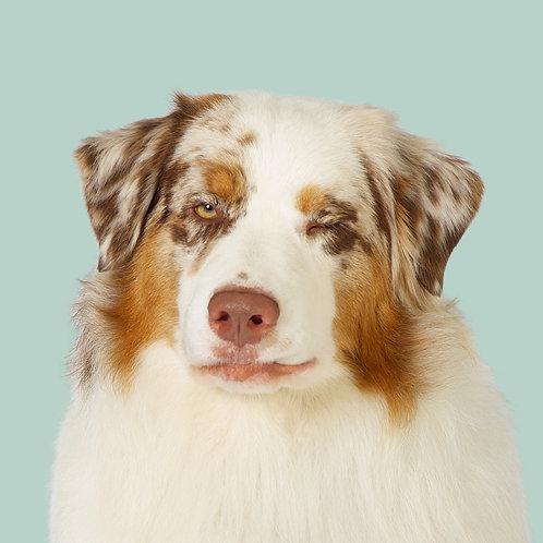 Fine Art Print · Project 100 Dogs · Greg the Australian Shepherd