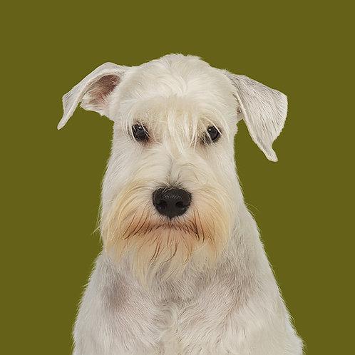 Fine Art Print · Project 100 Dogs · Boogi the Miniature Schnauzer