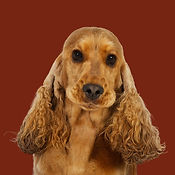 Molly_Cocker_Spaniel_SOME.jpg