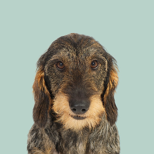 Fine Art Print · Project 100 Dogs · Ludvig the Wire-haired Dachshund