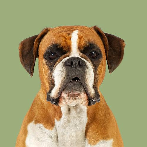 Fine Art Print · Project 100 Dogs · Kayla the Boxer
