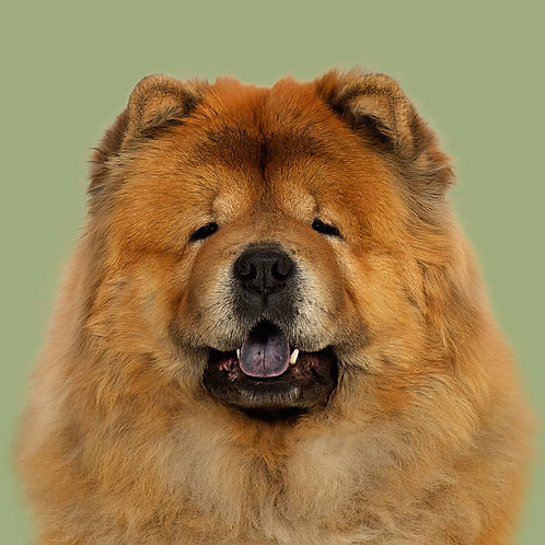 Fine Art Print · Project 100 Dogs · Si-Sunchine the Chow Chow