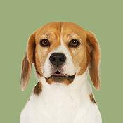 Samba_Beagle_SOME.jpg