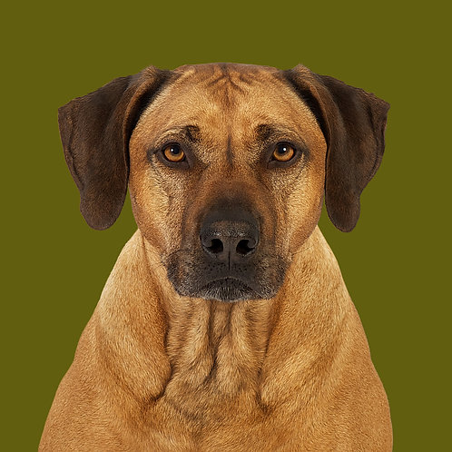 Fine Art Print · Project 100 Dogs · Balou the Rhodesian Ridgeback