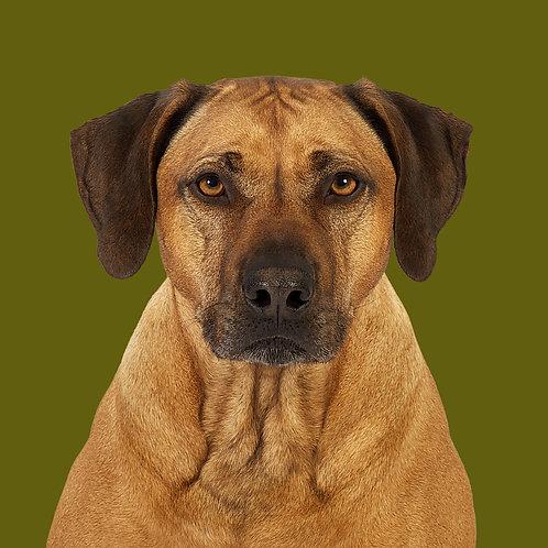 Fine Art Print · Project 100 Dogs · Balou the Rhodesian Ridgeback
