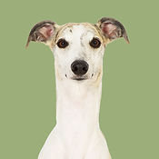 Hugo_Whippet_SOME.jpg