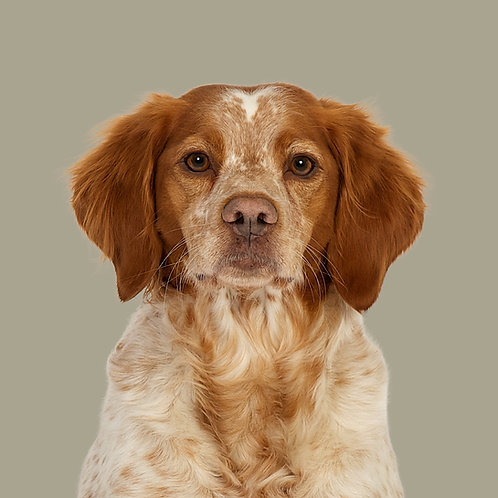 Fine Art Print · Project 100 Dogs · Belis the Breton