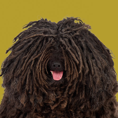 Fine Art Print · Project 100 Dogs · Esmand the Puli